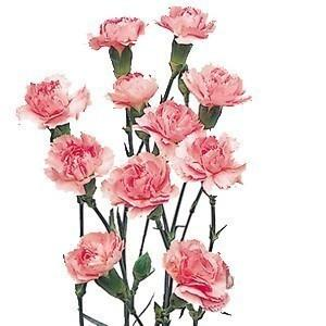 Pink Mini Carnation flower