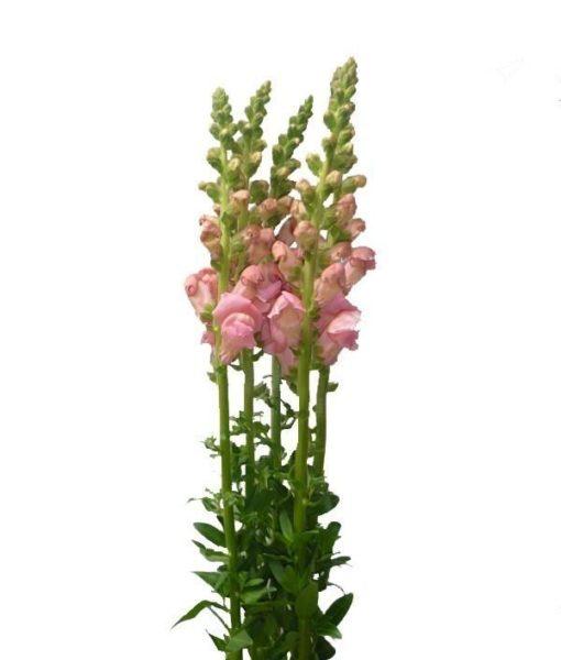 Pink Snapdragon flower