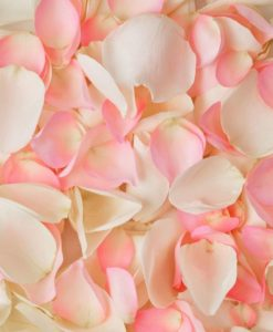 Pink and White Rose Petals