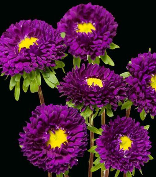 Purple Matsumoto Aster