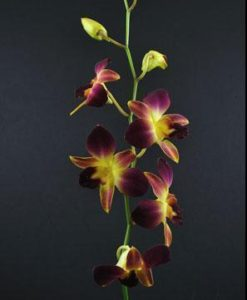 Purple and Yellow Dendrobium Orchid