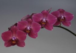 Red Phalaenopsis Butterfly Orchids