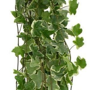 Variegated Ivy Foliage