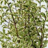 Variegated Pittosporum Foliage