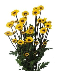 Viking Micropoms 247x300 - Micropoms Viking Wholesale Bulk Flowers (12 bunch)