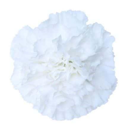 White carnation flower in wholesale bulk bulk flowers j r roses white carnation flower in wholesale bulk bulk flowers j r roses wholesale flowers mightylinksfo