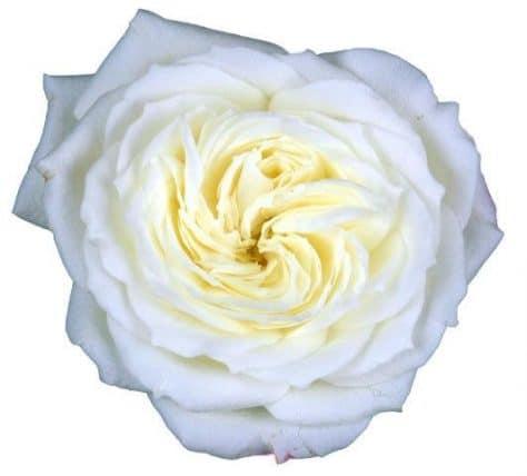 white garden rose - White Garden Rose