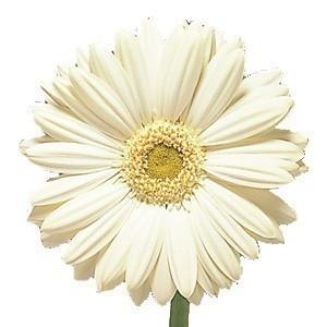 White gerbera daisy 80 stems bulk flowers j r roses wholesale white gerbera daisy 80 stems bulk flowers j r roses wholesale flowers mightylinksfo