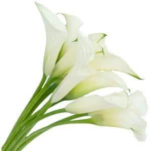 White Minature Calla Lily