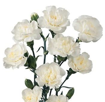 White Mini Carnation flower