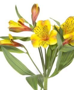 Yellow Alstromeria