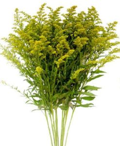 Yellow Solidago Aster
