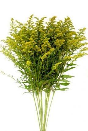 Yellow Solidago Aster