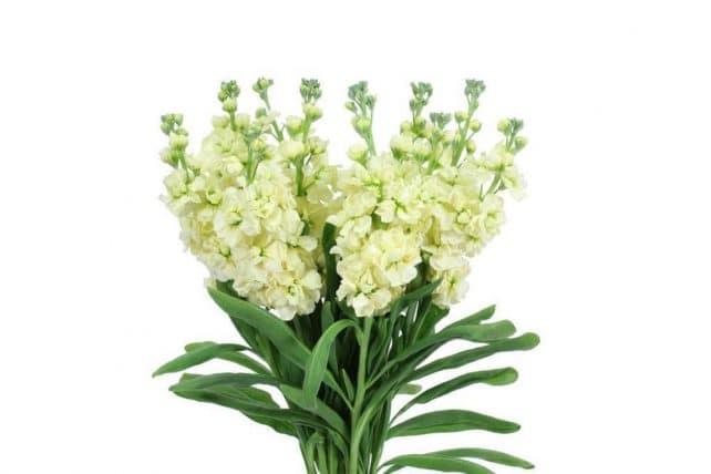 Yellow stock wholesale wedding flowers 10 bunch bulk flowers j r yellow stock flowers mightylinksfo