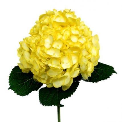 Yellow hydrangea flower bulk flowers j r roses wholesale flowers mightylinksfo