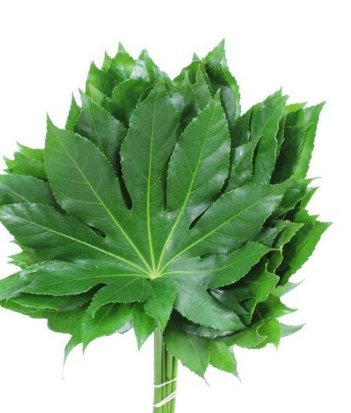aralia leaf leaves