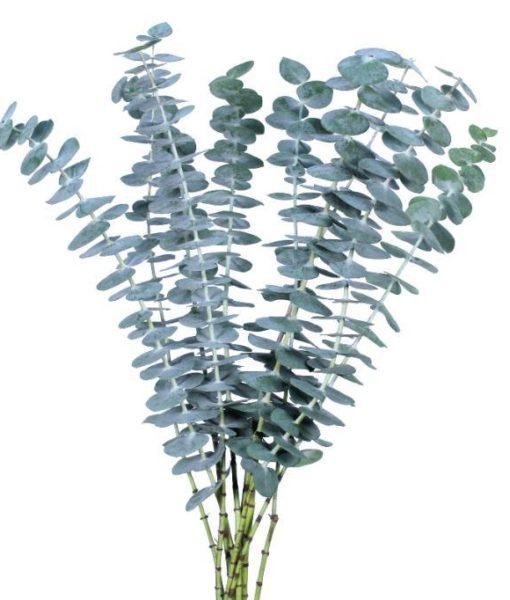 baby 510x600 - Baby Blue Eucalyptus Bulk 100 stems