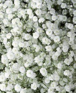 baby s breath excellence spo 247x300 - Baby's Breath Excellence