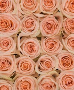 bulk peach roses