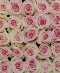 bulk light pink roses 247x300 - 100 Light Pink Roses