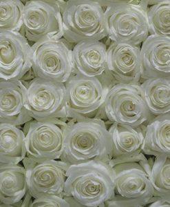 bulk white roses 247x300 - 100 White Roses Bulk