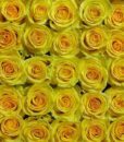 bulk_yellow_roses