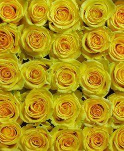 bulk yellow roses 247x300 - 100 Yellow Roses