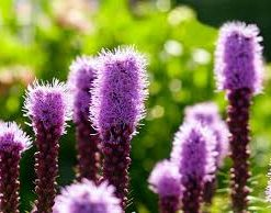 Liatris Flower