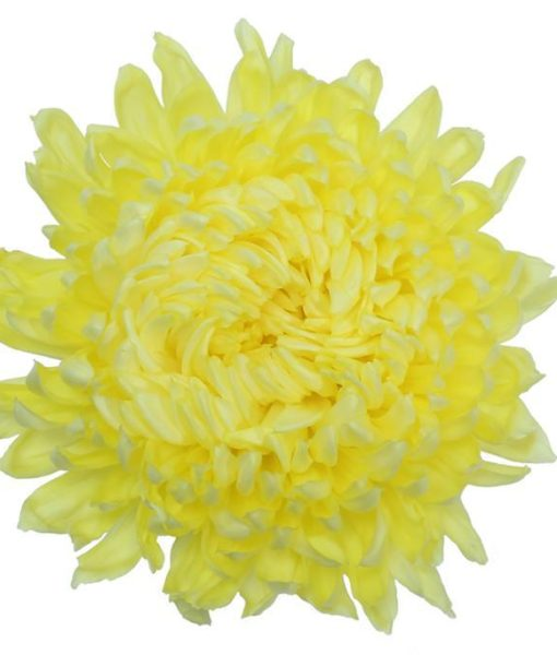 yellow football mum