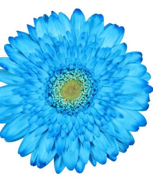 gerbera daisy blue avatar