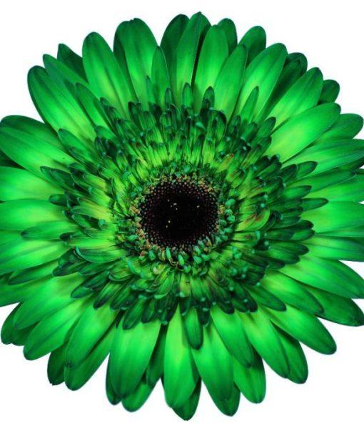 gerbera daisy green esmeralda
