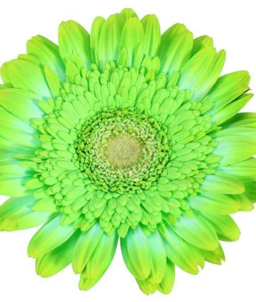 gerbera daisy green hulk