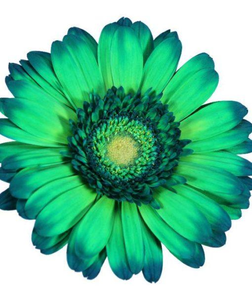 gerbera daisy green perica