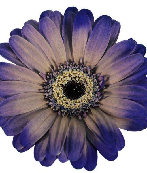 gerbera daisy lavender pantro