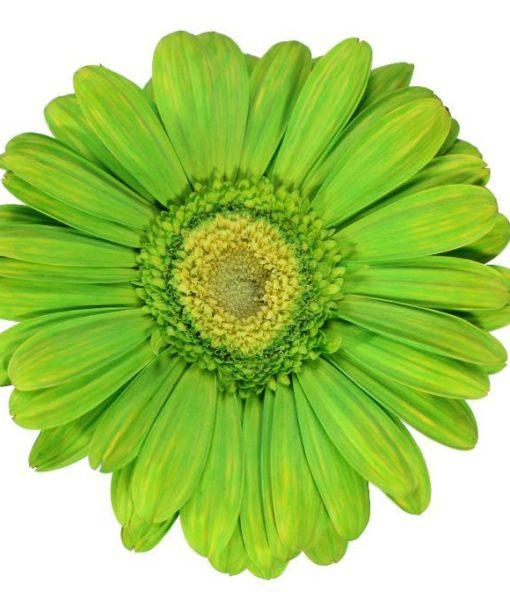 gerbera daisy lime green