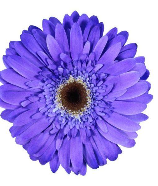 gerbera daisy periwinkle uva
