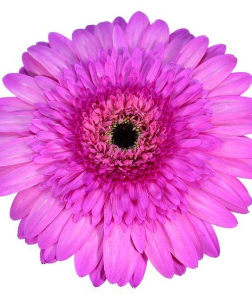 gerbera daisy pink pagina