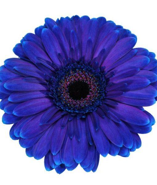 gerbera daisy purple velvet