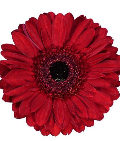 gerbera daisy red enzo