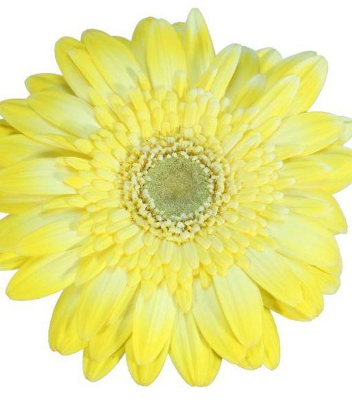gerbera daisy yellow pio pio