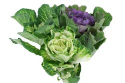 Kale Flowers Ornamental Cabbage