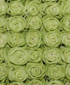 ligt green roses top view 247x300 - 100 Light Green Roses