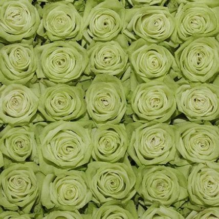 ligt green roses top view - 100 Light Green Roses