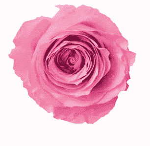 Pink Preserved Roses