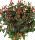 red hypericum berries