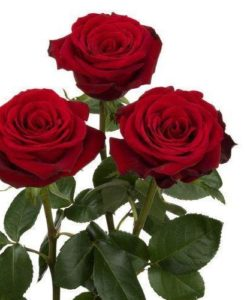 valentine's day wholesale bulk flowers archives - jr roses, Ideas