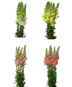 Snapdragon Flower