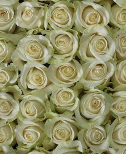 vendela top view spo 247x300 - 100 Ivory White Roses