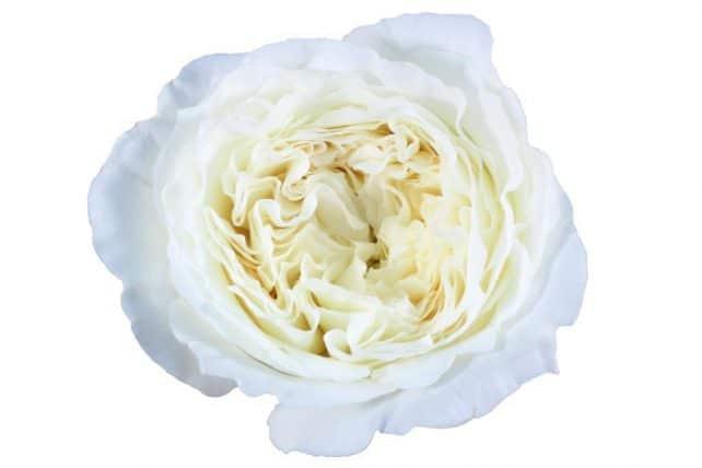 David austin garden roses 48 stems bulk flowers jr roses white garden roses mightylinksfo