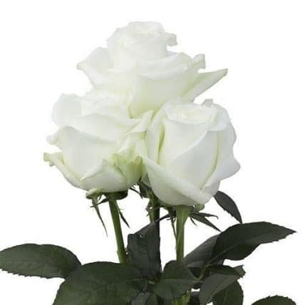 white roses wholesale flowers